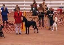 Demostración de perro de AKC Fotos de archivo libres de regalías