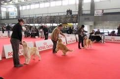 Demostración de perro internacional Foto de archivo libre de regalías
