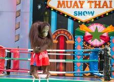 Demostración del boxeo del mono Foto de archivo libre de regalías