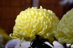 Demostración del crisantemo Imágenes de archivo libres de regalías