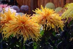 Demostración del crisantemo Foto de archivo libre de regalías