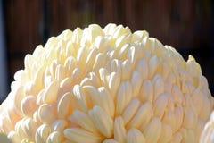 Demostración del crisantemo Fotos de archivo