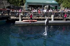 Demostración del delfín del acuario de Vancouver Imagenes de archivo