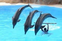 Demostración del delfín en el parque de Loro en Puerto de la Cruz en Tenerife, islas Canarias Imágenes de archivo libres de regalías