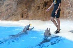 Demostración del delfín en el parque de Loro en Puerto de la Cruz en Tenerife, islas Canarias Imagenes de archivo