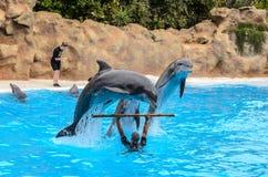 Demostración del delfín en el parque de Loro, Puerto de la Cruz, Tenerife imágenes de archivo libres de regalías