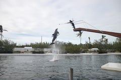 Demostración del delfín en el teatro del mar en Islamorada Foto de archivo