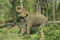 Demostración del elefante de toro del colmillo-menos Imagenes de archivo