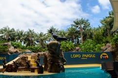 Demostración del león marino en el parque de Loro de Tenerife Fotografía de archivo libre de regalías