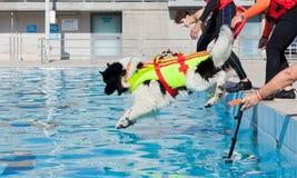 Demostración del rescate con los perros del salvavidas Imagen de archivo libre de regalías