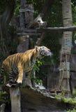 Demostración del tigre Fotografía de archivo libre de regalías