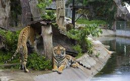 Demostración del tigre Imagenes de archivo