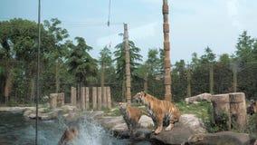 Demostración del tigre en parque zoológico Los tigres de Amur saltan para la carne debajo de la charca almacen de video