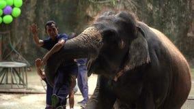 Demostración diaria del elefante - hombre que lleva del elefante en Sriracha Tiger Zoo, Tailandia metrajes
