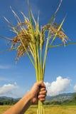 Demostración humana de la mano el arroz Imágenes de archivo libres de regalías