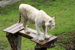 Demostración que espera del tigre blanco para Fotografía de archivo