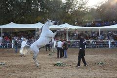 Demostración y campeonato árabes del caballo Foto de archivo libre de regalías