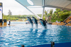 Demostración de orcas en el Loro Parque, que ahora es atracción del ` s de Tenerife segundo mayor con la piscina más grande del ` Fotos de archivo