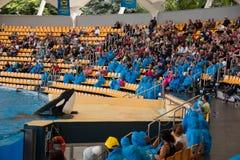 Demostración de orcas en el Loro Parque, que ahora es atracción del ` s de Tenerife segundo mayor con la piscina más grande del ` Imagenes de archivo