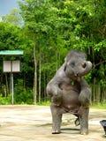 Demostración del elefante Imágenes de archivo libres de regalías