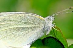 Demostraciones ascendentes cercanas de la mariposa cada escala en el ala Imagen de archivo libre de regalías