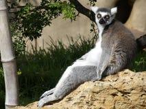 Demur Lemur. Ennui is not limited to humans! (Endangered Species: Ringtailed Lemur Royalty Free Stock Image