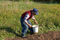 Den äldre mannen tar flera potatisar från en hink för att plantera i en trädgårds- säng Royaltyfri Foto
