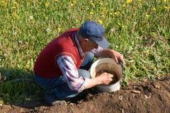 Den äldre mannen tar potatisar från en hink för att plantera i en trädgård Royaltyfria Foton
