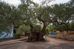 Den äldsta olivträdet på en grekisk ö Zakynthos - 1800 gamla år Royaltyfri Bild