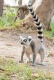 Älskvärt gå för Lemur Arkivfoto