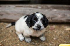 Den älskvärda lilla svartvita valpen i en träask frågar att adopteras med hopp arkivfoto