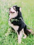 Den älskvärda svarta hunden sitter på gräset i parkera Fotografering för Bildbyråer
