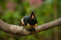 Den äta försåg med krage aracaritukan Arkivbilder