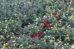 Den åtskilliga färgkrysantemumet slår ut &flower i trädgården Arkivbilder