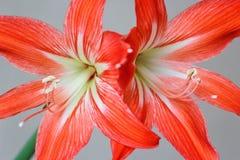 Den åtskilliga hippeastrumen (amaryllis) blommar på isolerad ljus bakgrund Arkivbilder