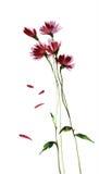 Den åtskilliga purpurfärgade lösa vattenfärgen blommar illustrationen Royaltyfri Bild