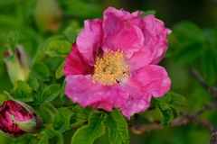 Den öppna blomman av en ros royaltyfri fotografi