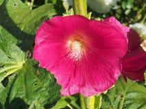 Den öppnade knoppen av malvan röda blommapetals blodsugare royaltyfri foto