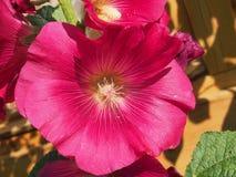 Den öppnade knoppen av malvan röda blommapetals blodsugare Arkivfoton