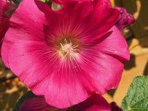Den öppnade knoppen av malvan röda blommapetals blodsugare fotografering för bildbyråer