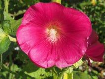 Den öppnade knoppen av malvan röda blommapetals blodsugare royaltyfri fotografi