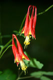 Den östliga aklejan blommar (den Aquilegia canadensisen) royaltyfria bilder