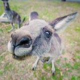 Den östliga gråa kängurun i ett roligt poserar Arkivbilder