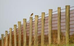 Den östliga Meadowlark fågeln som sjunger på land, betar staketet, Walton County Georgia, USA royaltyfri bild