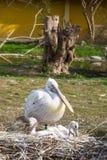 Den östliga vita pelikan med två behandla som ett barn i redet Royaltyfri Foto