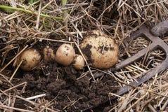 Den över huvudet närbildsikten av nytt grävde nya vita guld- potatisar av olika format i ett hem arbeta i trädgården Fotografering för Bildbyråer