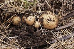Den över huvudet närbildsikten av nytt grävde nya vita guld- potatisar av olika format i ett hem arbeta i trädgården Arkivbilder
