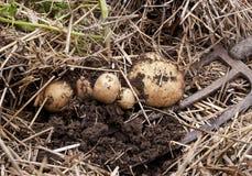Den över huvudet närbildsikten av nytt grävde nya vita guld- potatisar av olika format i ett hem arbeta i trädgården Royaltyfri Bild
