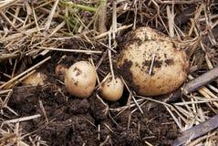Den över huvudet närbildsikten av nytt grävde nya vita guld- potatisar av olika format i ett hem arbeta i trädgården Arkivfoton