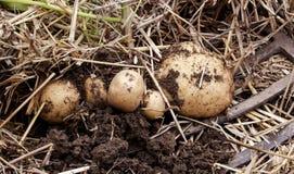 Den över huvudet närbildsikten av nytt grävde nya vita guld- potatisar av olika format i ett hem arbeta i trädgården Arkivfoto